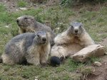 photos de marmottes
